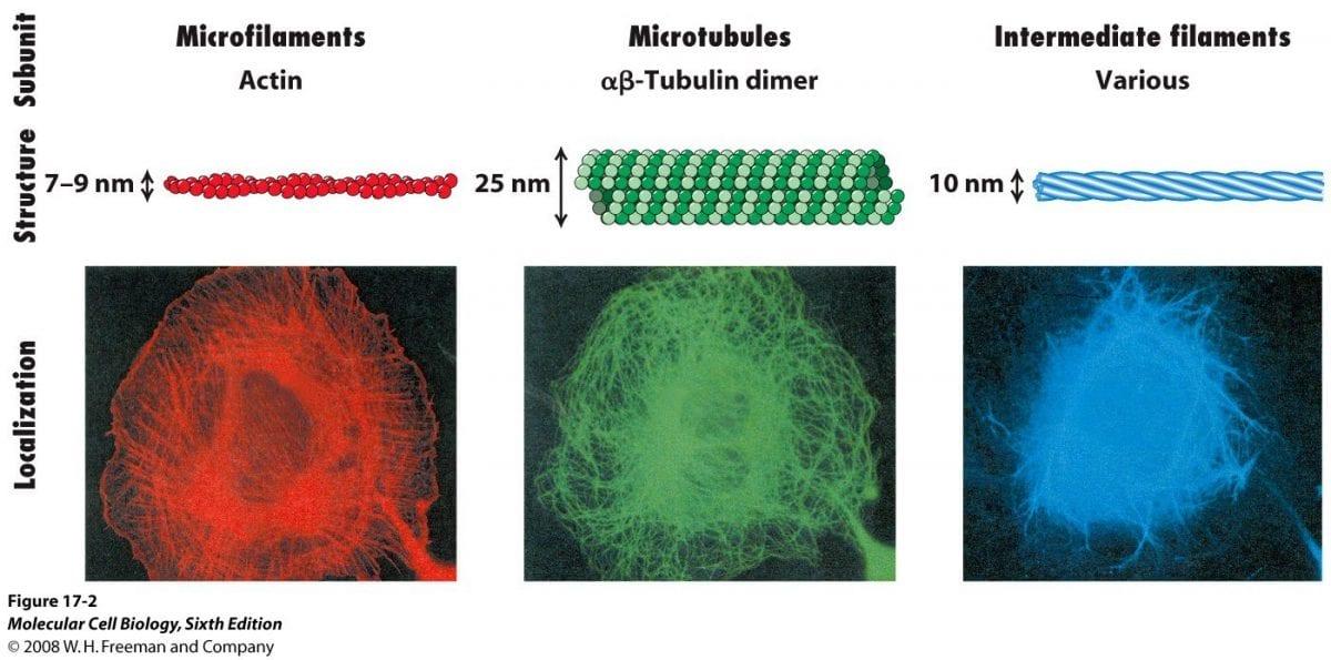 microfilamenti