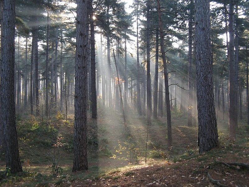 Rimboschimento di pino nero. Si notino gli alberi tutti della stessa dimensione e disposti in file (foto di Donar Reiskoffer)