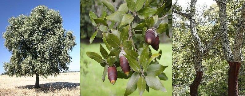Da sinistra: 1) leccio (esemplare solitaro, Christian R. Linder), 2) leccio: foglie e ghiande, 3) sughera
