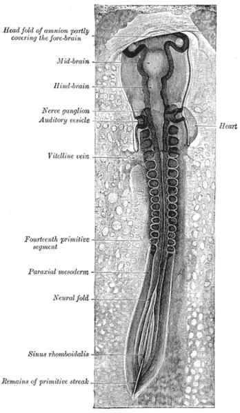 Formazione del tubo neurale