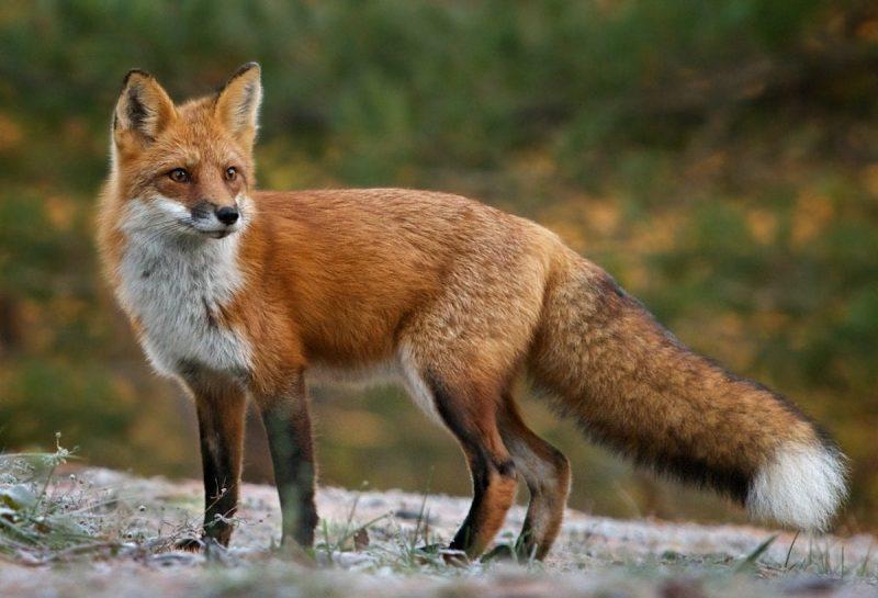 vulpes-vulpes-volpe rossa