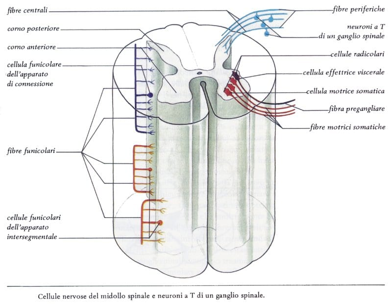cellule_del_midollo_spinale