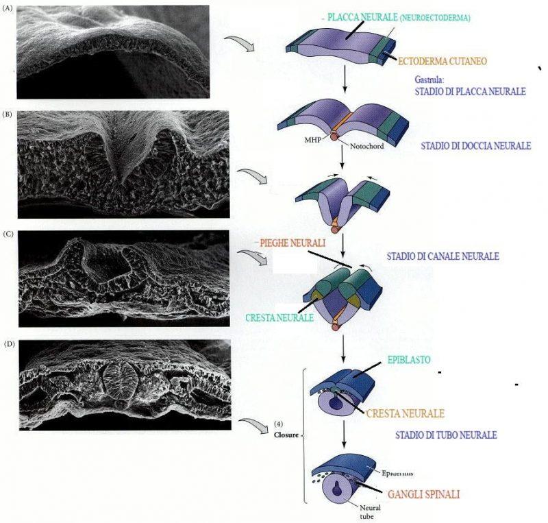 neurulazione