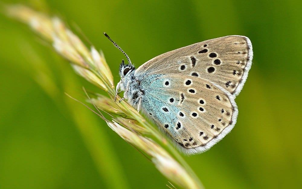 Maculinea farfalla