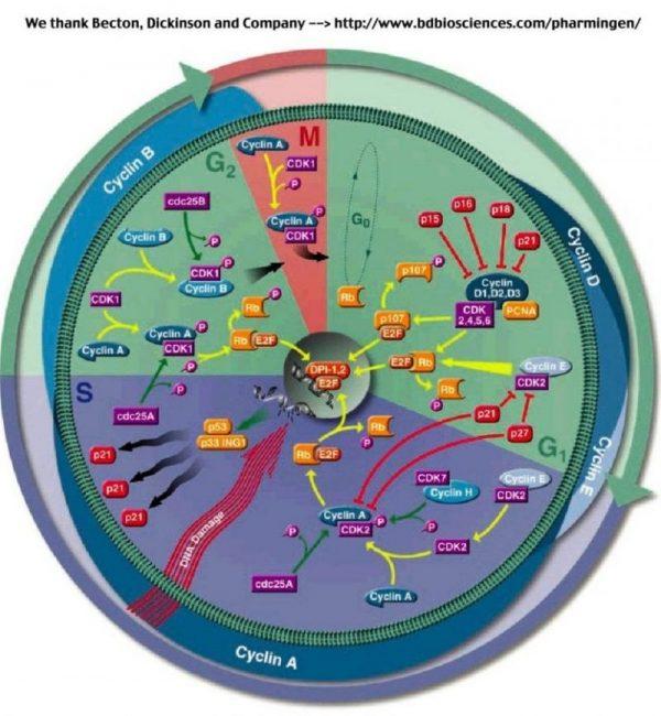 un ciclo cellulare con alcune delle proteine che lo regolano.