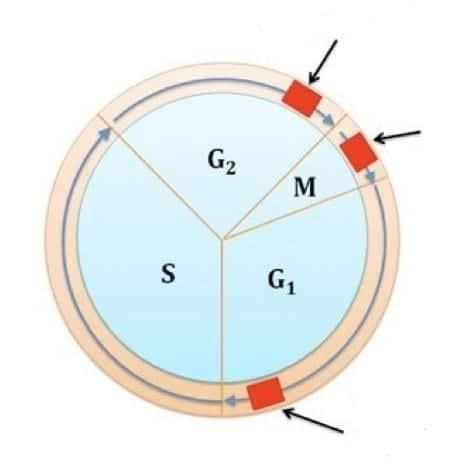 Immagine 3: i tre Checkpoints del Ciclo Cellulare
