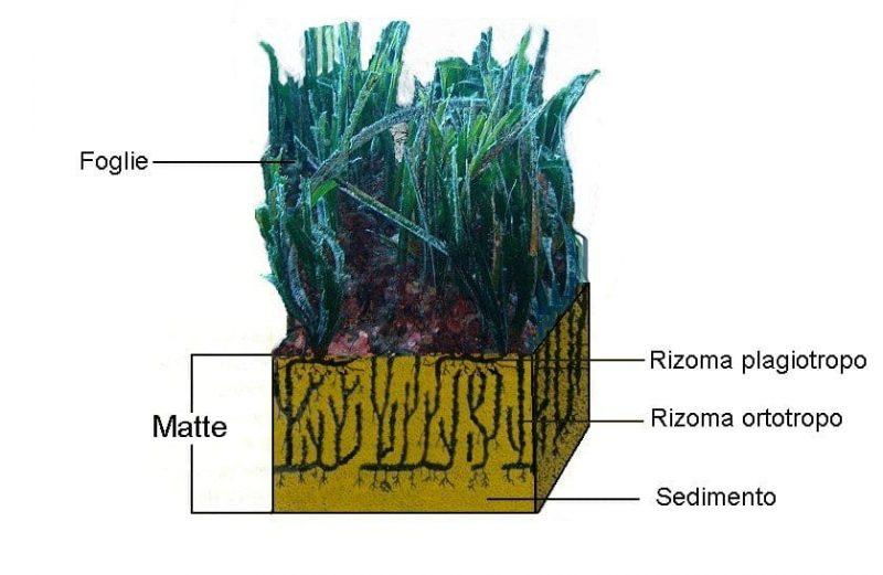Rappresentazione schematica di matte di Posidonia oceanica