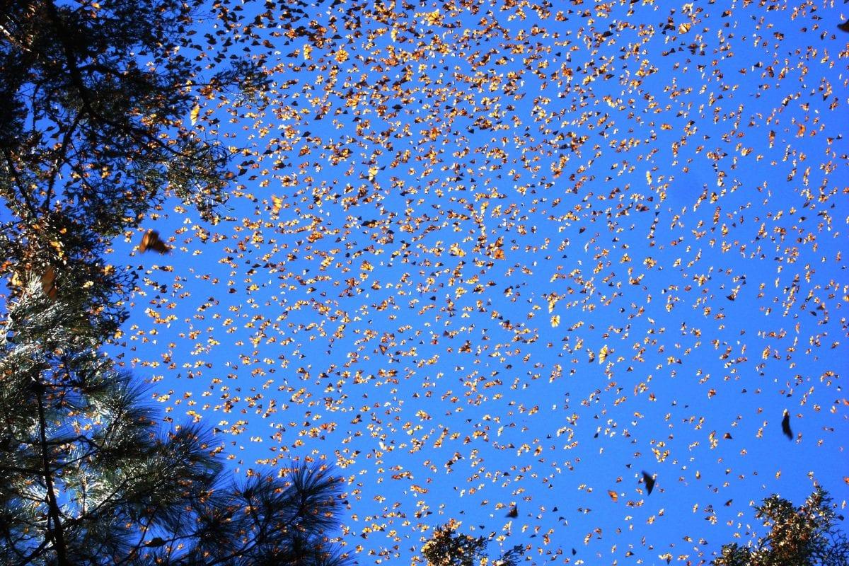 la migrazione della farfalla monarca