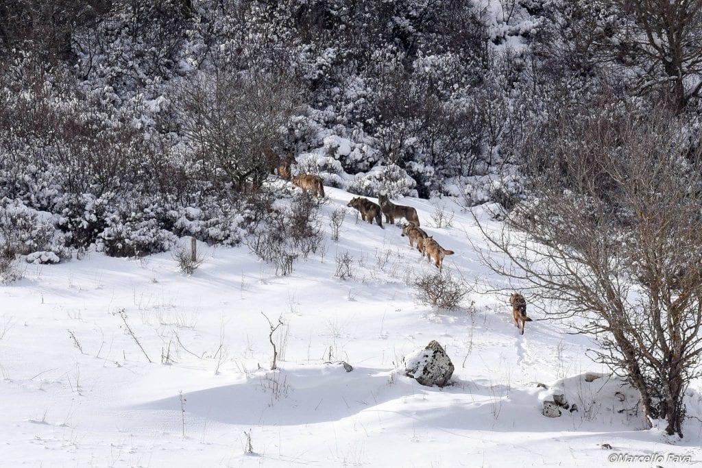 foto di lupi italiani