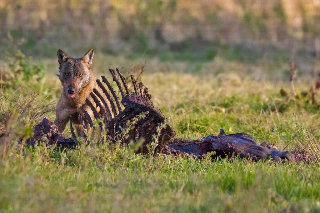 foto di un lupo in italia