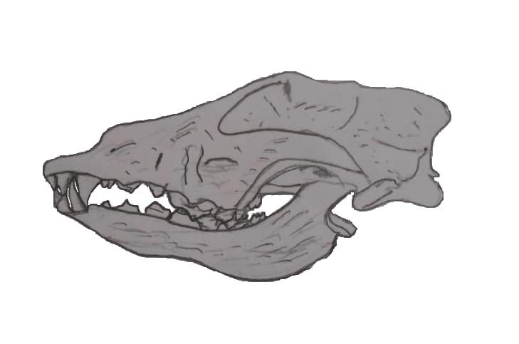 Cranio di canide trovato nella Goyet Cave