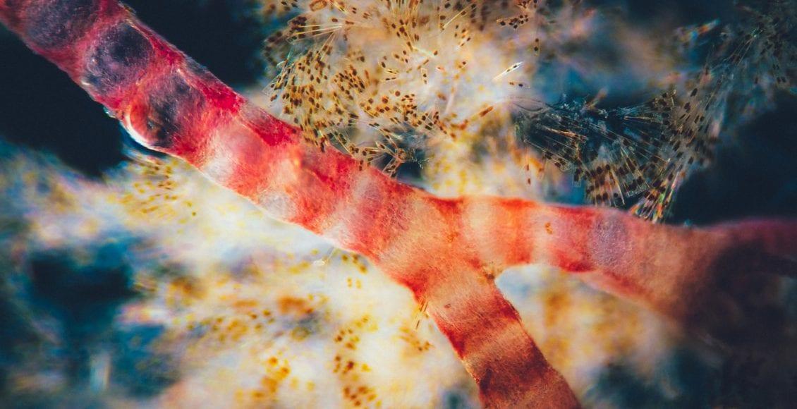 Rhodophyta, conosciamo da vicino le alghe rosse