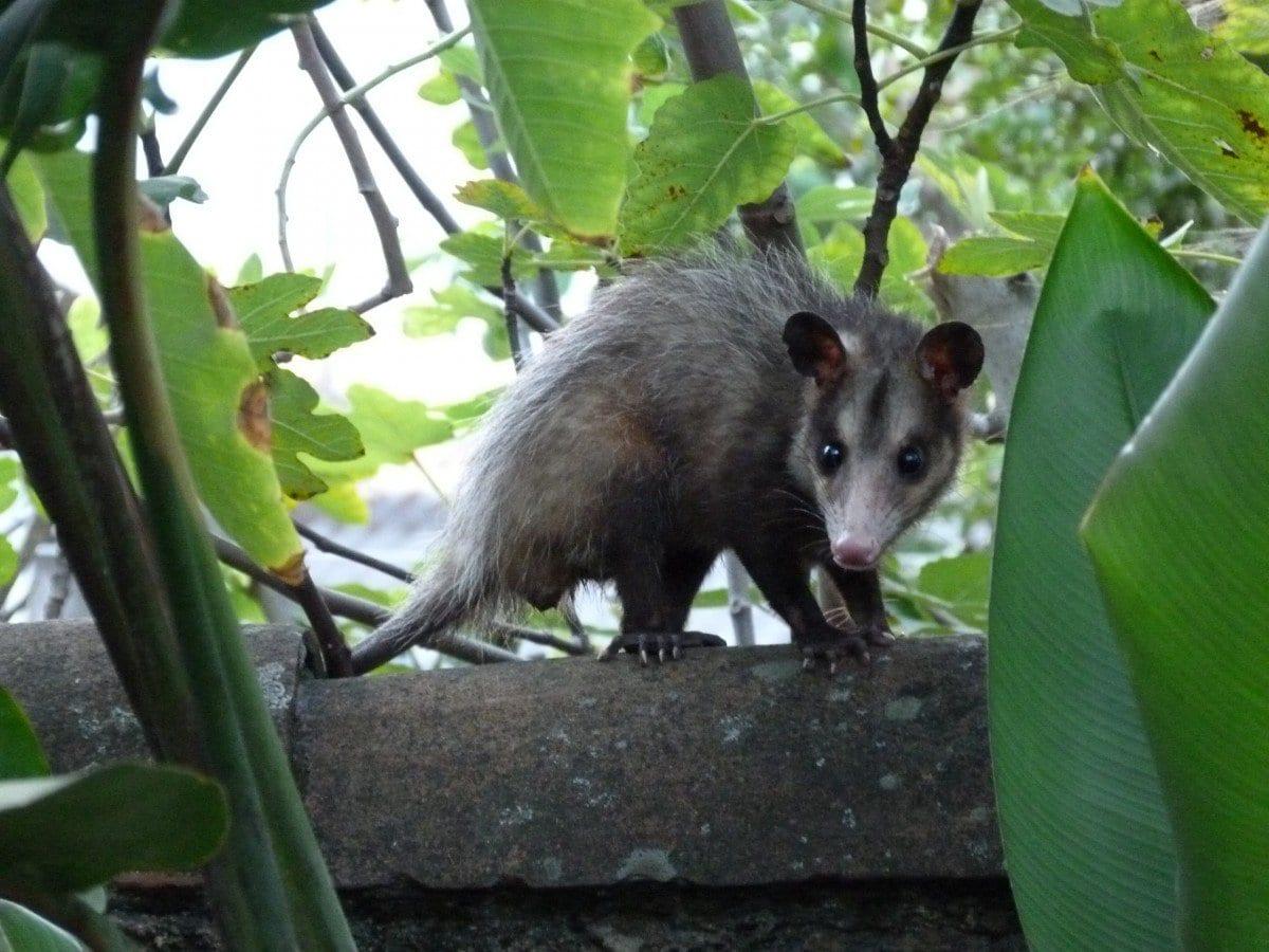 Opossum comune (Didelphis marsupialis)
