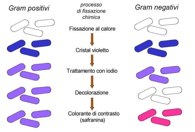 colorazione di Gram per distinguere batteri gram negativi e gram positivi