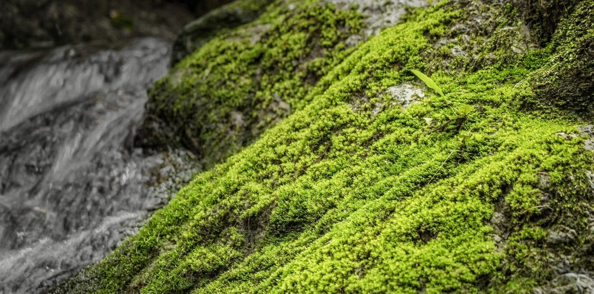 briofite: muschi, epatiche e antoceri