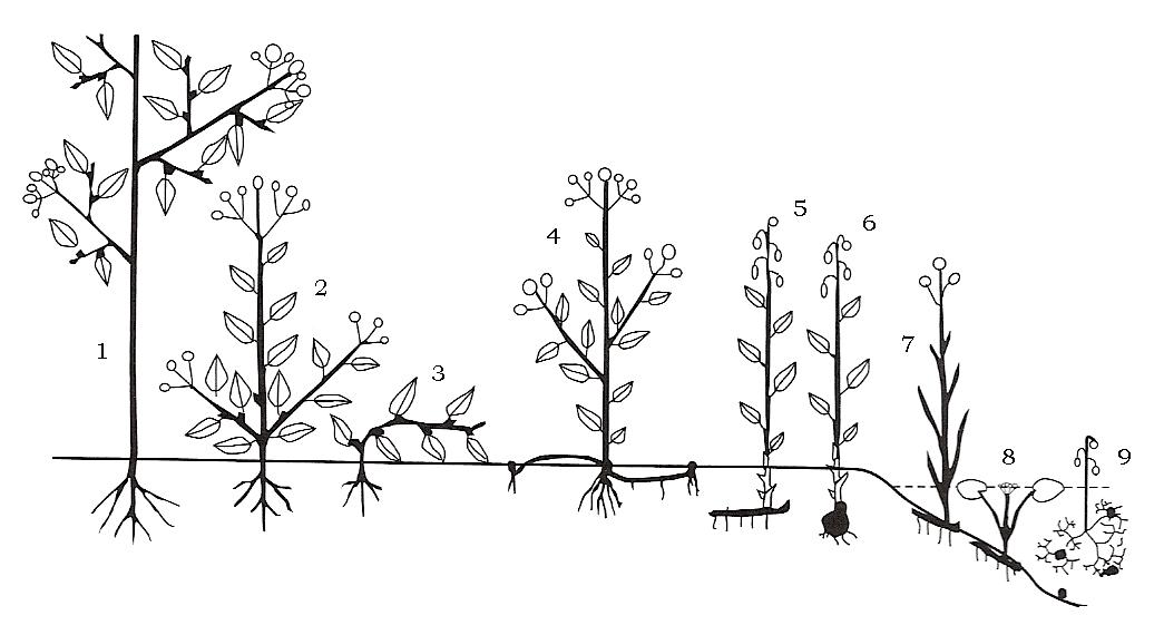 Gli adattamenti dei vegetali agli ambienti: le forme biologiche di Raunkiær