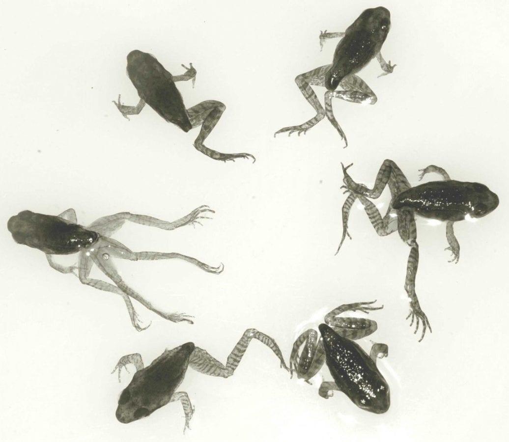 lo strano caso delle rane deformi: colpa di un parassita