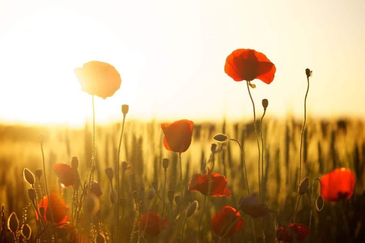 Angiosperme: le piante a fiore