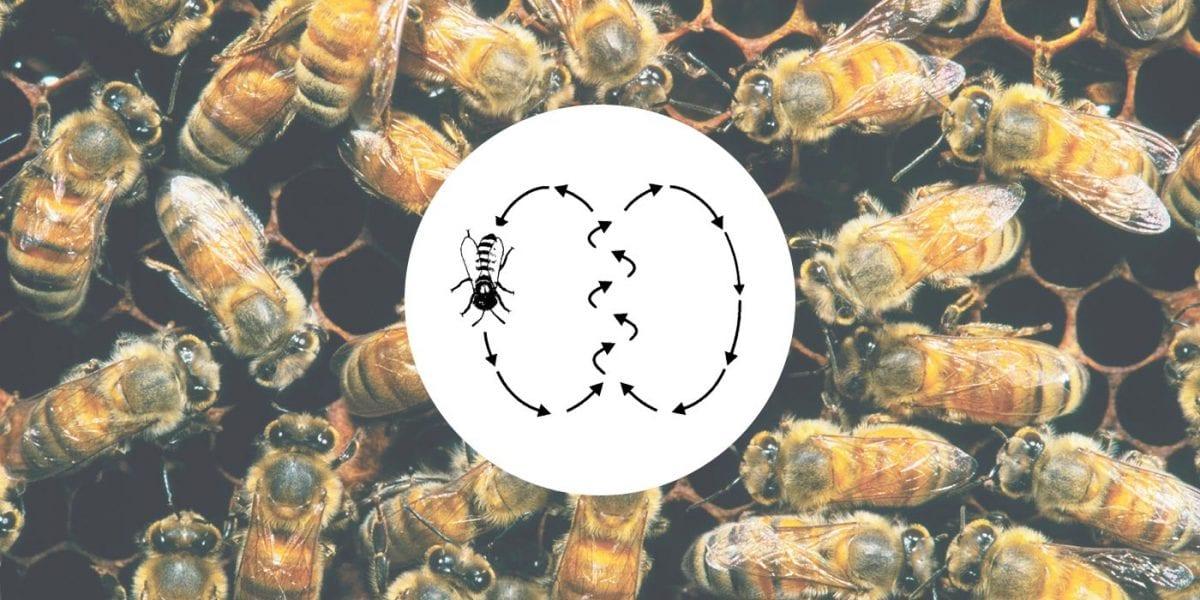 Danza delle api: un linguaggio naturalmente complesso