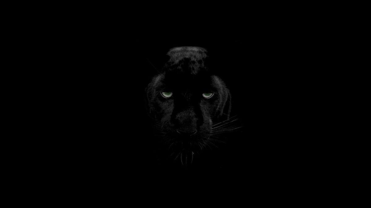 Pantere nere: melanismo nei grandi felini