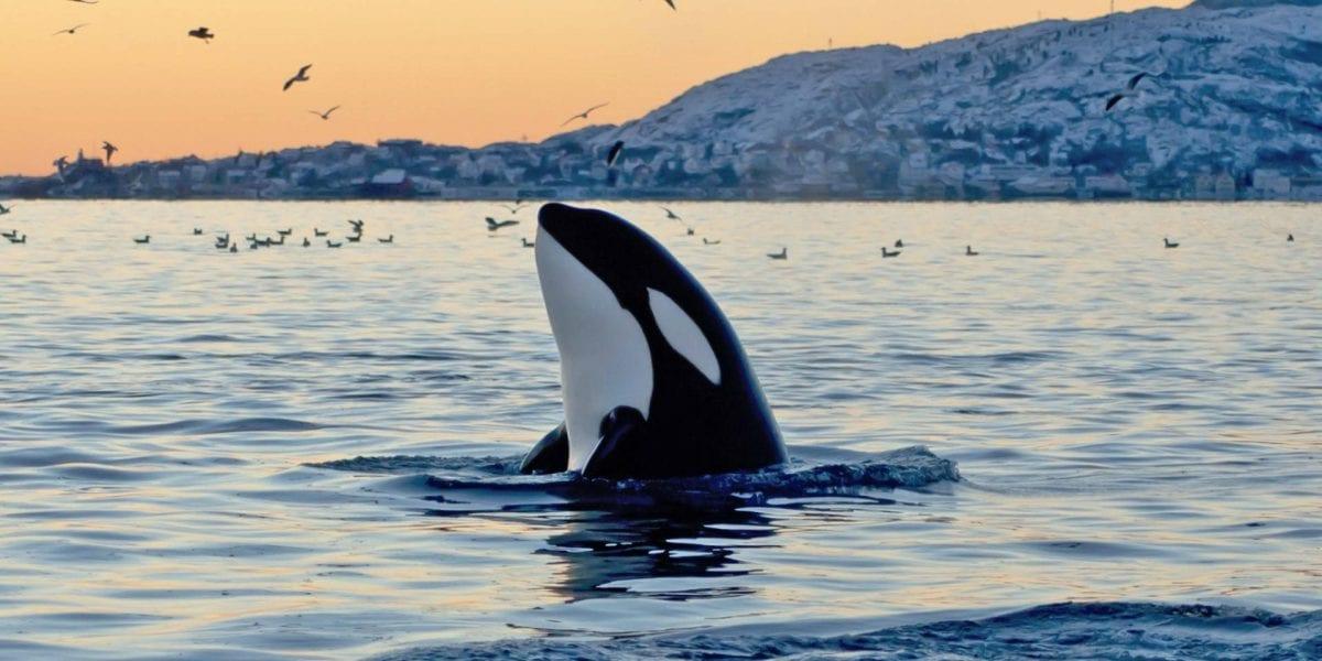 Uno studio sulle orche potrebbe aiutarci a capire meglio il fenomeno della speciazione