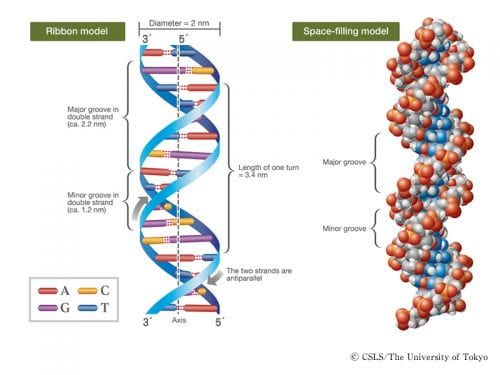 struttura della doppia elica del DNA