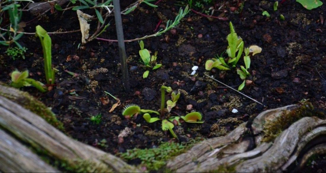 Dionaea muscipula, la venere acchiappamosche