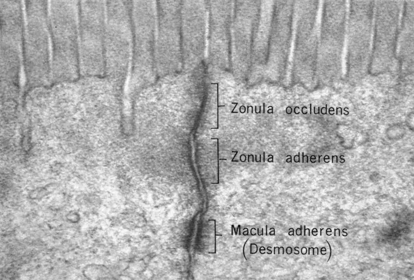 Giunzioni cellulari della membrana plasmatica