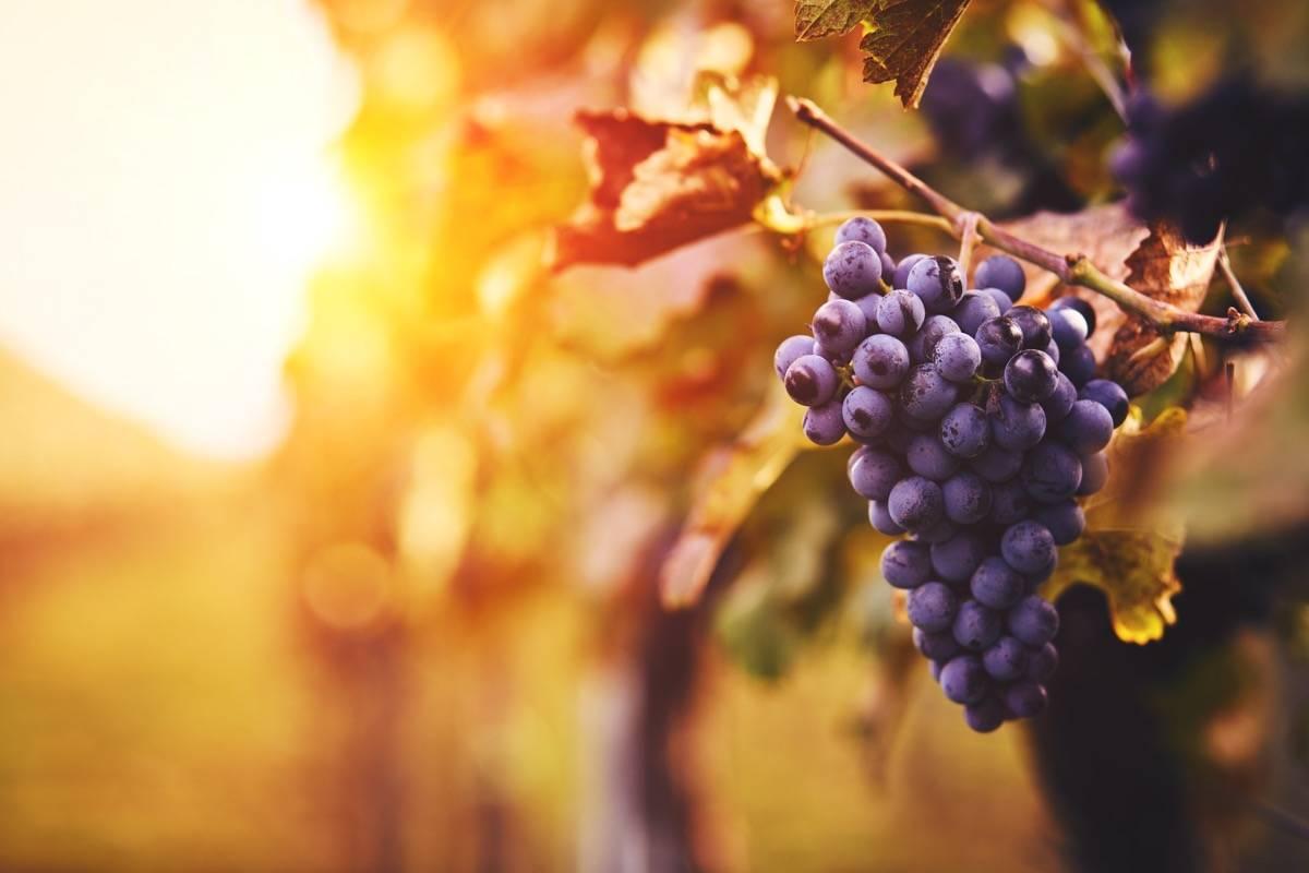Uva rossa, vino e resveratrolo