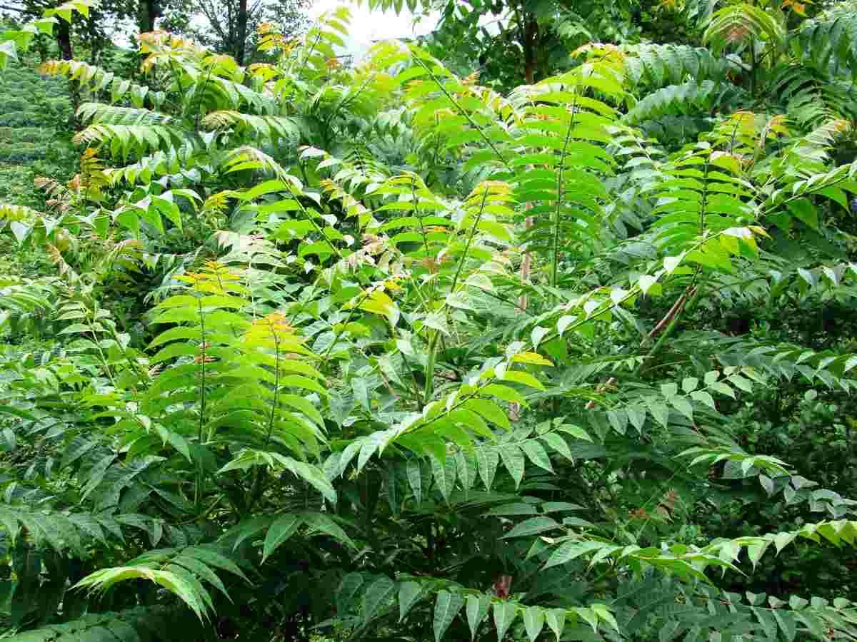 Ailanthus altissima ailanto