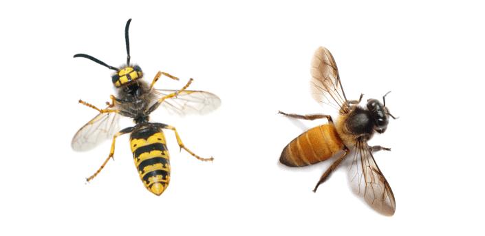 differenze tra api e vespe