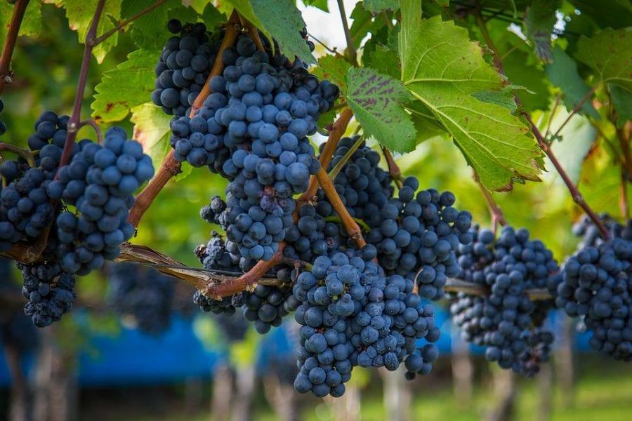 vite coltivata (Vitis vinifera L.)