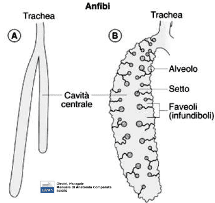 Polmone di anfibio