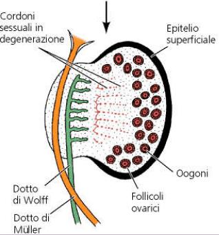 Sviluppo dell'ovaio