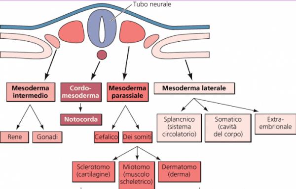 Discendenza cellulare del mesoderma