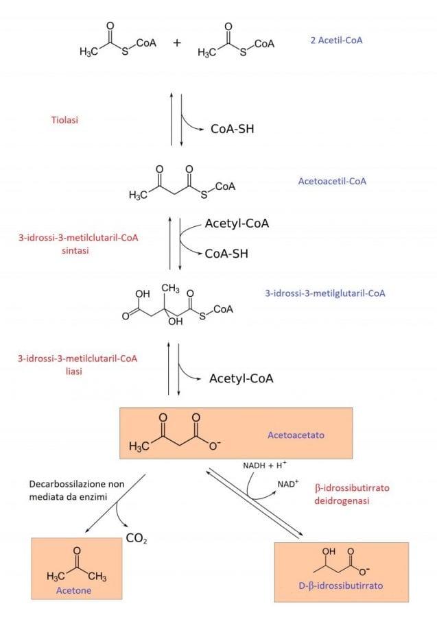 Schema delle reazioni che portano dall'Acetil-CoA all'Acetoacetato e da questo all'Acetone e all'Acido beta-idrossibutirrico