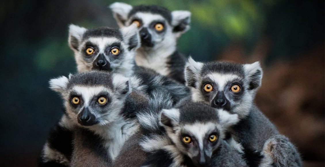 popolazione lemuri