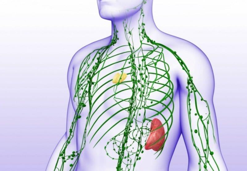 organi linfoidi