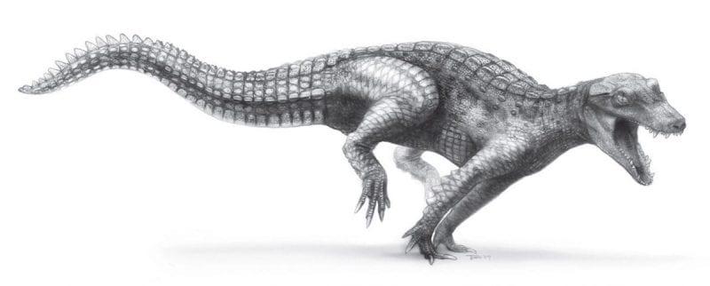 """Ricostruzione dell'aspetto di un crocodilomorfo estinto del genere """"Araripesuchus"""""""