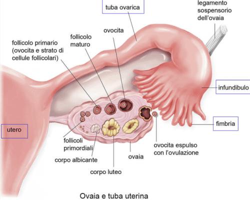 Maturazione di ovocita in mammifero