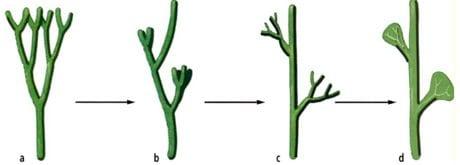 Evoluzione della foglia e del ramo