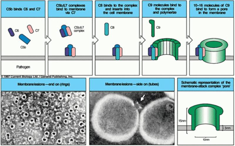 Formazione del Membrane Attack Complex (MAC) sulla superficie del microbo.