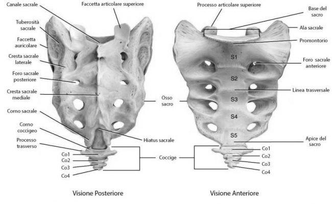 Immagine che illustra le parti dell'osso sacro sia anteriormente che posteriormente