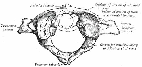 Disegno dell'atlante, la prima vertebra cervicale, prende contatto con il cranio superiormente e con la seconda vertebra, epistrofeo, inferiormente