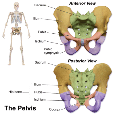 Schema del bacino in visione anteriore e posteriore con colorazioni diverse per le ossa ileo, ischio e pube