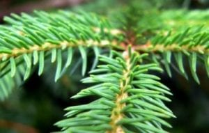 le foglie delle conifere sono a forma di ago