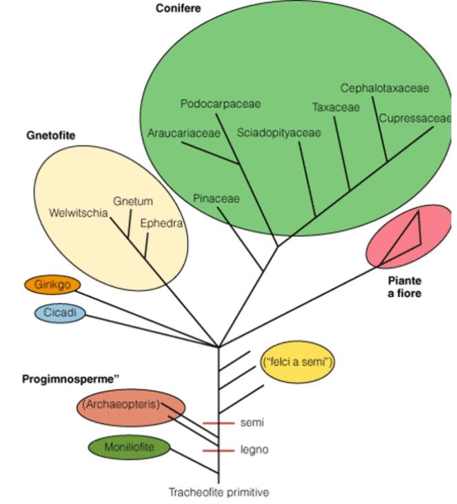 filogenesi delle clamidosperme