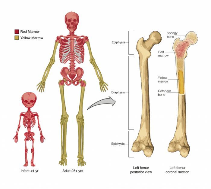 Variazioni delle sedi ematopoietiche nel bambino e nell'adulto