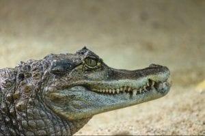"Alligatoride del genere ""Caiman"""
