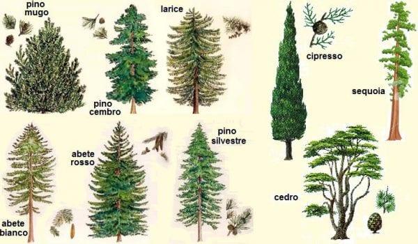 Alcuni esempi delle conifere descritte